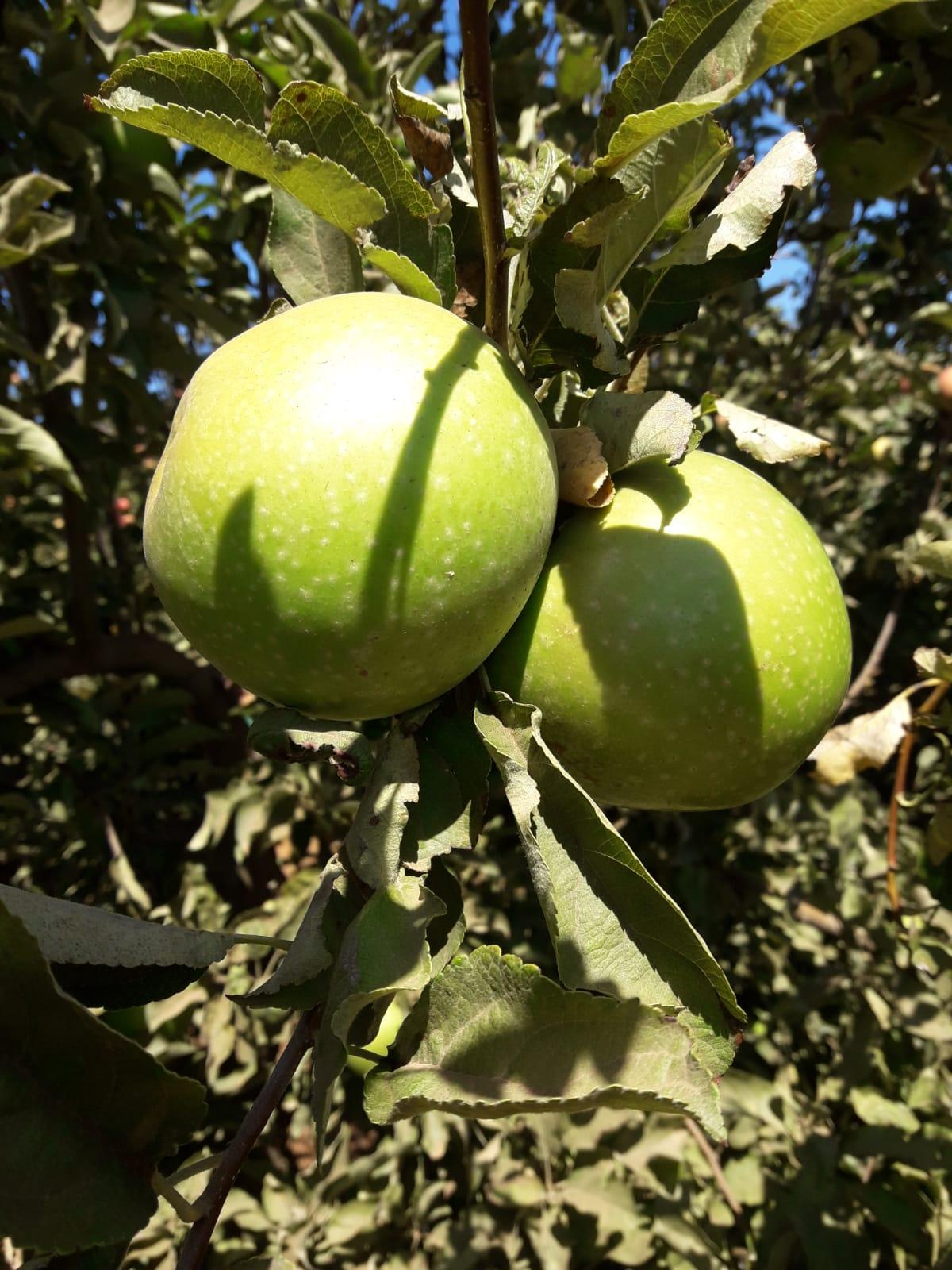 תפוחים ישראליים