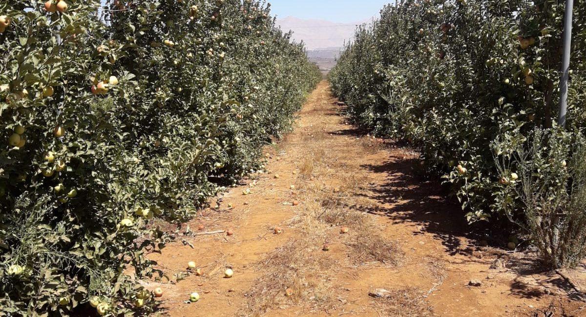 מטע תפוחים רמת הגולן